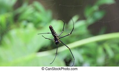 Giant wood spider spinning its web