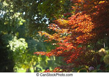 Acero giapponese rosso giardino autunno giardino for Acero rosso giapponese