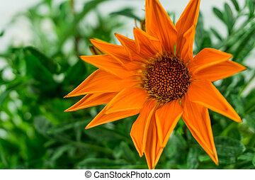 giardino fiore, foglie, sole, verde, arancia