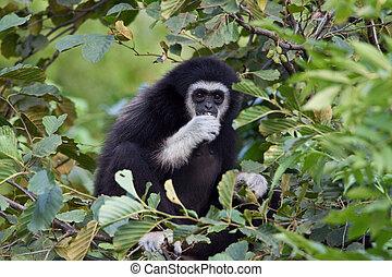 gibbon among the leaves