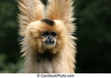 Gibbon - Brightly gibbon