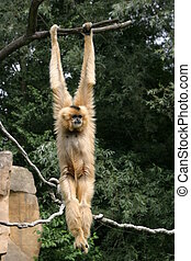 Gibbon - Brightly gibbon with very long arms