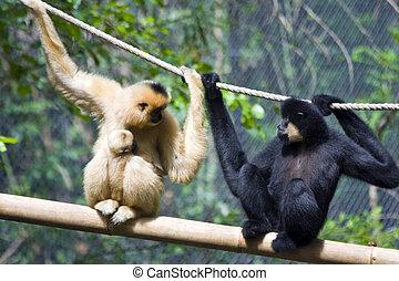 Gibbon family - Yellow-cheeked gibbon (Nomascus gabriellae)...