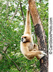 Gibbon (Hylobates lar) climb tree in forest ,Chiangrai...