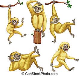 Gibbon - Illustration of a set of gibbons