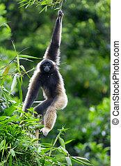 Gibbon monkey - A Gibbon monkey in Kota Kinabalu, Borneo,...