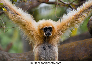 Gibbon Monkey with Arms spread looking intense