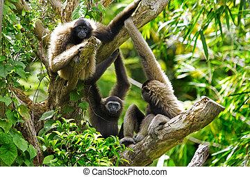 Gibbon monkeys in Kota Kinabalu, Borneo, Malaysia