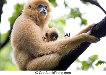 Gibbon mother and baby - Yellow-cheeked gibbon (Nomascus...