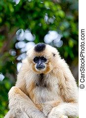 Gibbon of golden cheeks, Nomascus gabriellae - Precious...