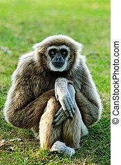 Gibbon - Whitehandgibbon (Hylobates lar) sitting and looking...
