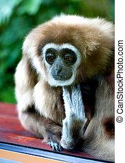 gibbon, verdrietige