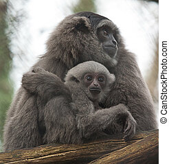 Gibbon with Baby 6612