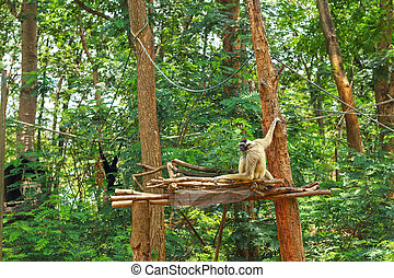 Gibbons on the tree in nature