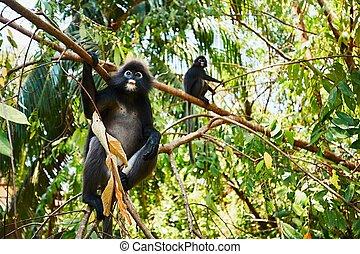 gibbons, selva, dois