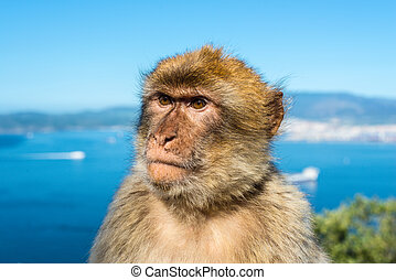 Barbary macaque monkey portrait - Gibraltar Barbary macaque...