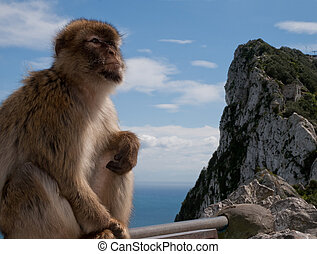 Gibraltar monkey - monkey sitting on a ledge gibraltar...