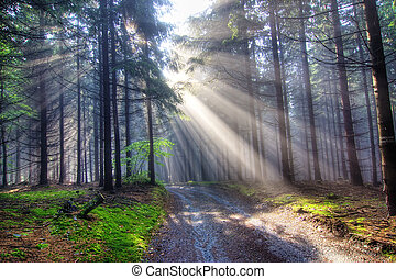 Image of the coniferous forest early in the morning - early morning fog - God beams