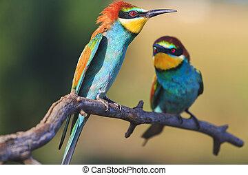 gift, spel, exotisk, fåglar