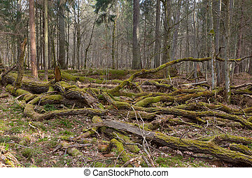 gigant, oaktree, mossa, svept, grenverk, lögnaktig