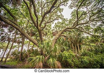 gigant, oaktree, på, jakt, ö, södra carolina
