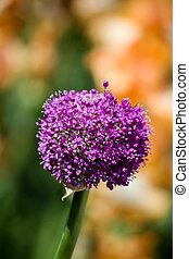 gigante, (allium, giganteum), fioritura, cipolla