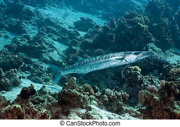 gigante, barracuda
