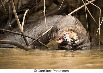 gigante, comer, canas, peixe, lontra rio