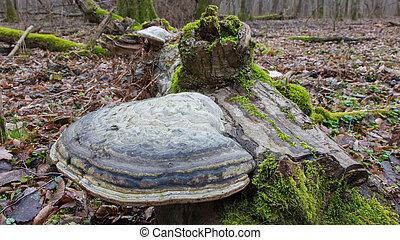 gigante,  polypore, funghi, cadere