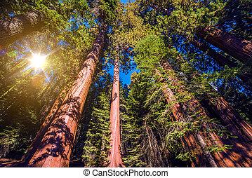 gigante, sequoie, foresta