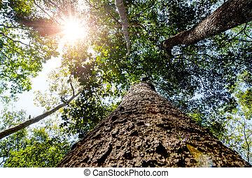 gigante, tronco, árbol, arriba, mirar, thailand.,...