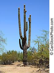 giganteus, cactus saguaro, cereus