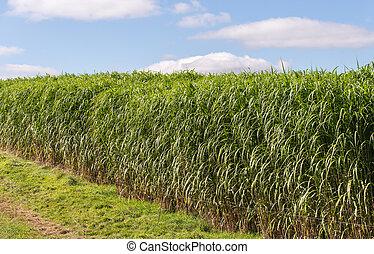 giganteus, miscanthus, -, biomass, récolte