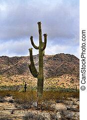 giganteus, saguaro, cereus, cactus, désert, sonora