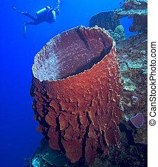 Diver and barrel sponge, Foreshortening causing optical illusion.