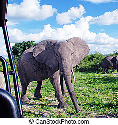 gigantisk, afrikansk elefant, in, vild, savanna(national, parkera, chobe, b
