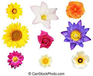 giglio, come, isolato, collezione, margherita, fiori, ibisco