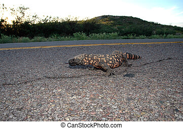 An endangered Arizona gila monster crossing the road.