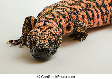 Gila Monster isolated on White Background 1