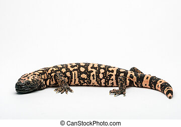 Gila Monster, Isolated on White Background Paper