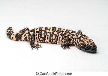 Gila Monster Isolated on White Paper Background