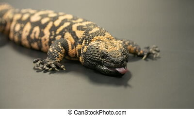 Gila Monster Laying on Table - Steady, medium close up shot...