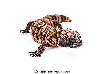 Gila Monster Lizard Isolated on White