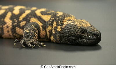 Gila Monster Resting - Steady, close up shot of a gila...