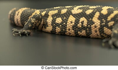 Gila Monster, Tail to Head - Handheld, close up shot...