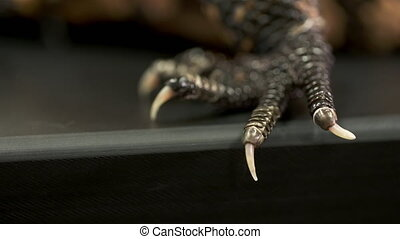 Handheld, extreme close up shot of the claws of a gila monster.