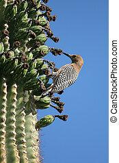 Gila woodpecker on cactus