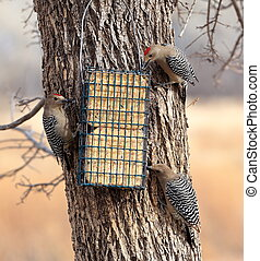 Gila Woodpecker male and female