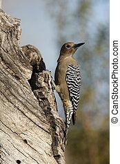 Gila woodpecker, Melanerpes uropygialis, Arizona, USA