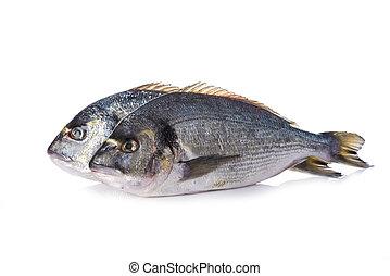 Gilt-head sea bream fishes isolated - Raw gilt-head sea...